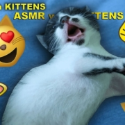 ASMR with KITTENS 🐱Facebook Youtube SEO